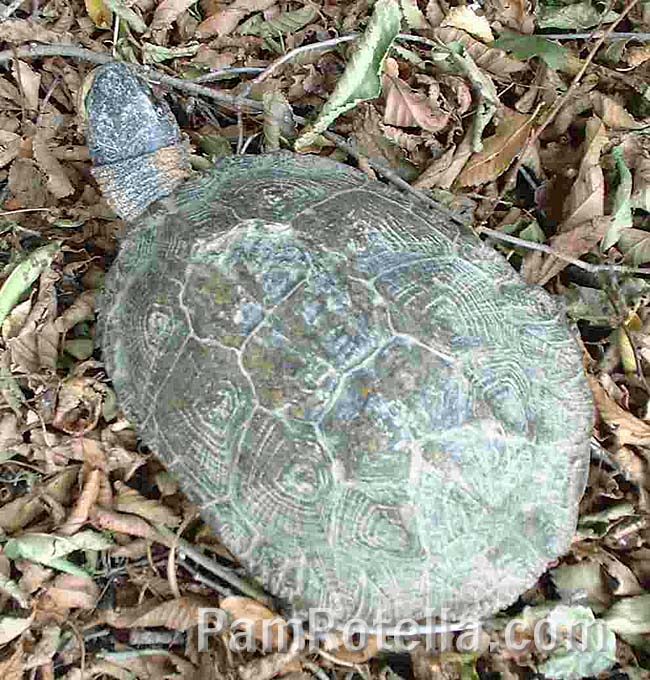 Turtle was left in leaf litter a few feet from the road