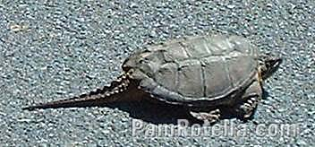 Turtle found on rural road