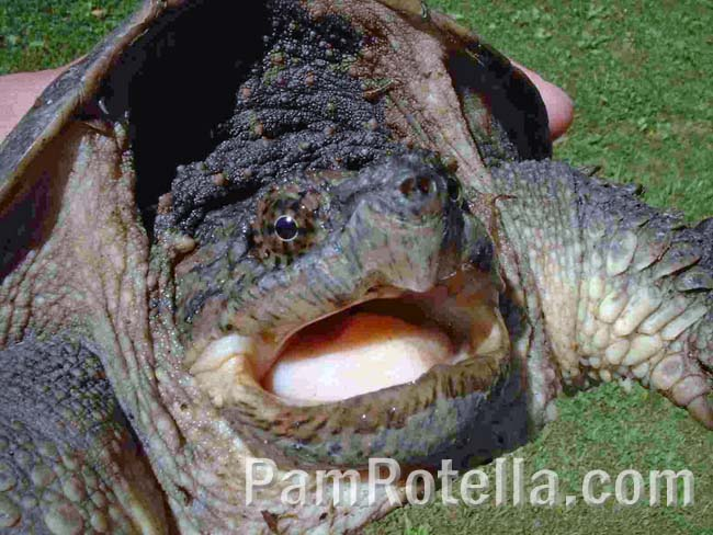 Turtle's open mouth, revealing a pretty pink tongue