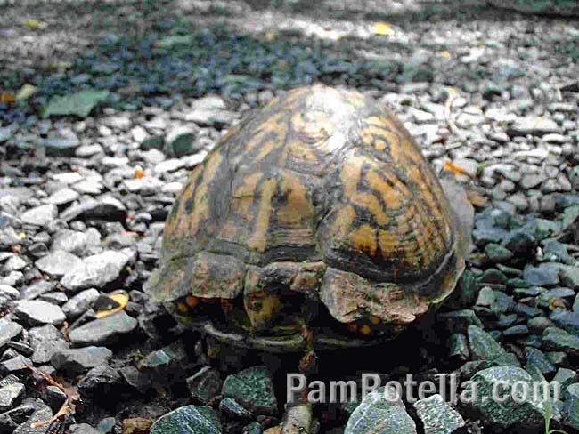 Box turtle retreating into its shell, from the front