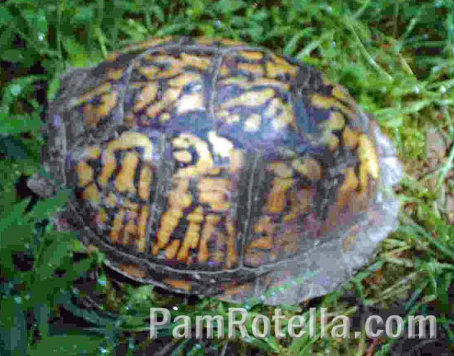 Box turtle's new home, in a clearing