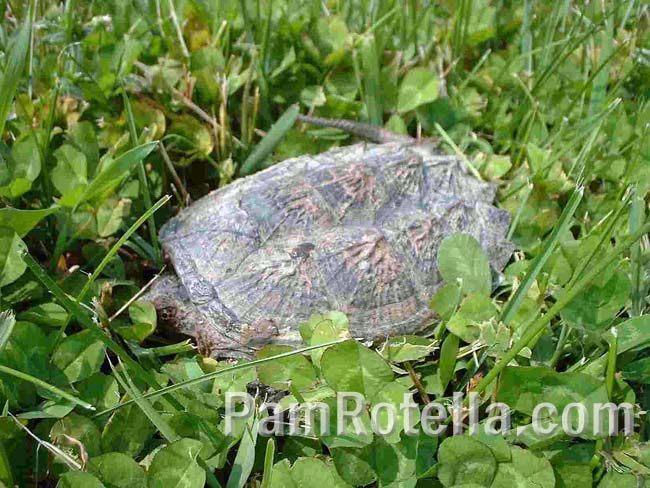 The tortoise in low grass