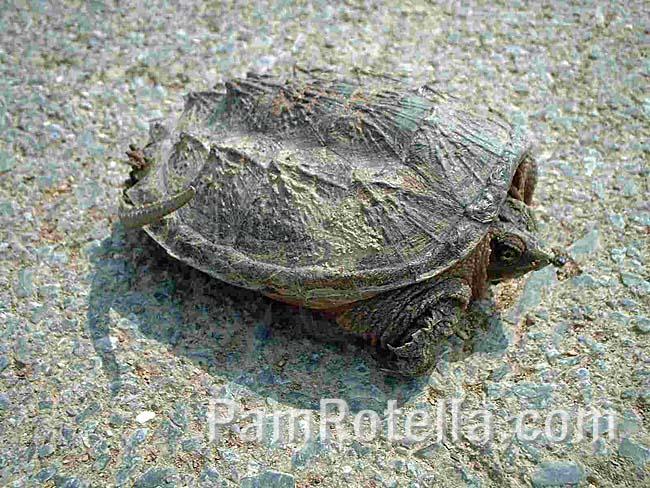 Tortoise sunning itself on the road