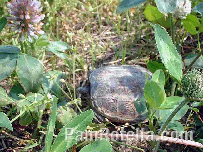 The tortoise in tall weeds