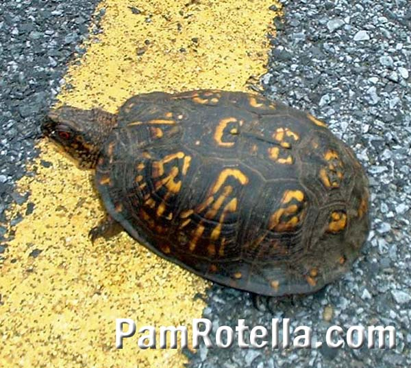 Turtle reached center of road