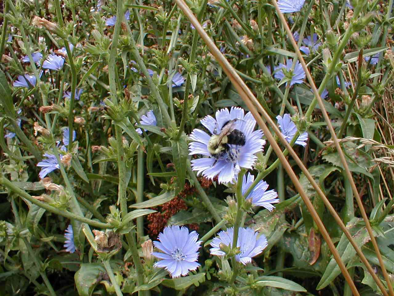 Chickory with bee