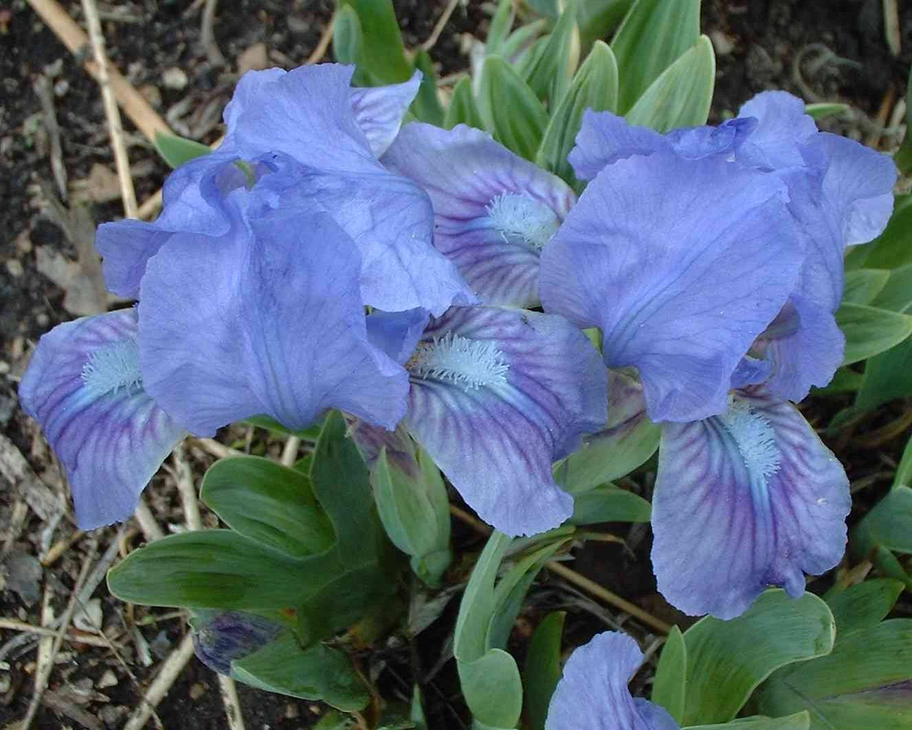 Dollhouse Irises