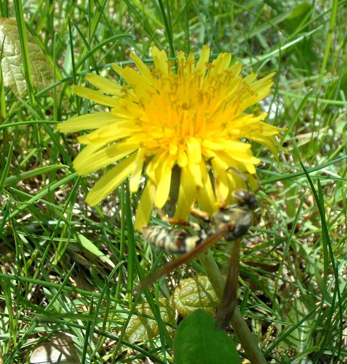 Dandelion with Wasp
