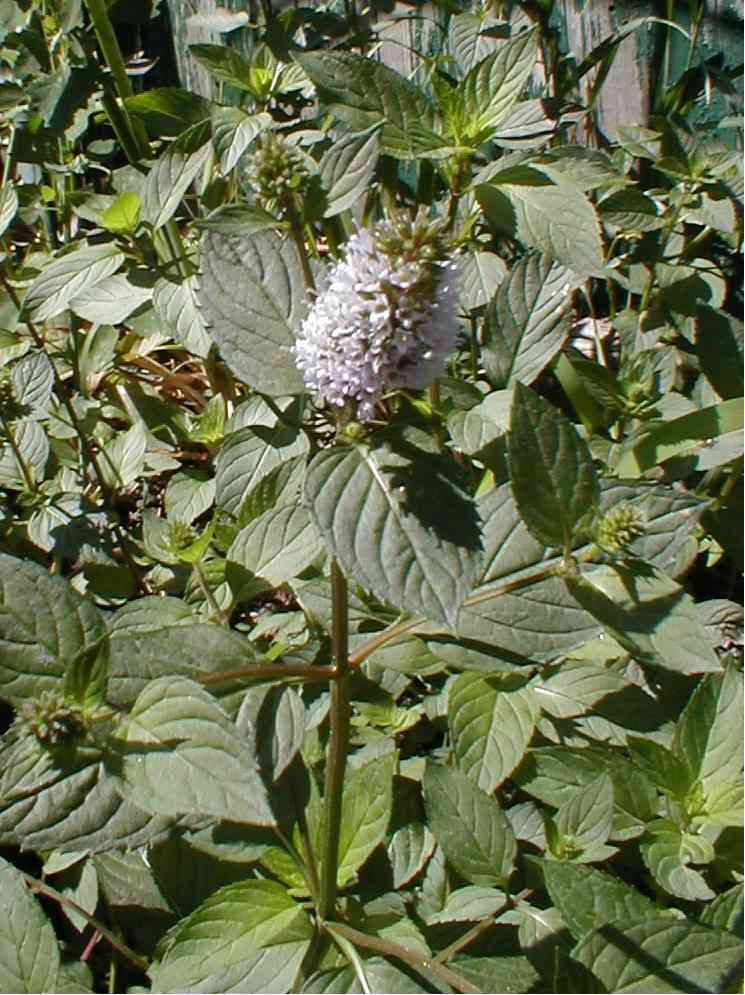 Peppermint flower