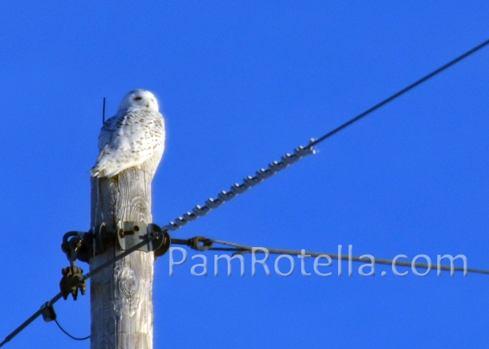 Snowy owl sits atop power pole in Freedom, Wisconsin during the winter of 2014, photo by Pam Rotella