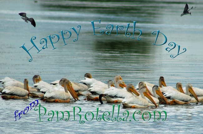 Earth Day card to readers 2010, pelicans at Horicon Marsh, summer of 2009