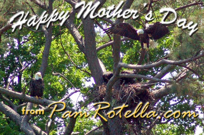 Mother's Day card to readers 2011, eagles and eaglets at Norfolk Botanical Garden in 2010, photo by Pam Rotella