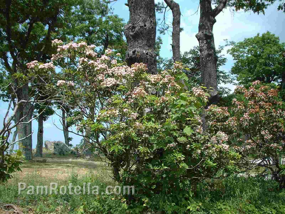 Flowering bush along Skyline Drive, Virginia, photo by Pam Rotella