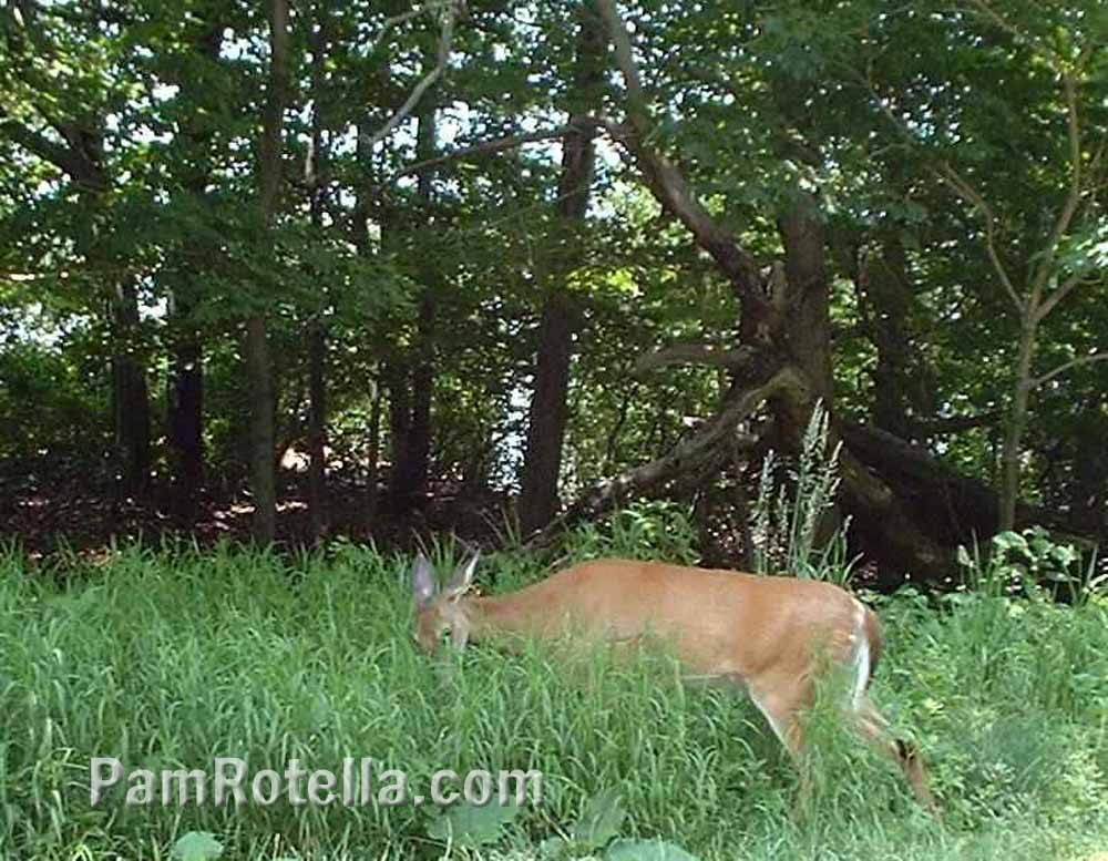 Deer grazing along Skyline Drive, photo by Pam Rotella