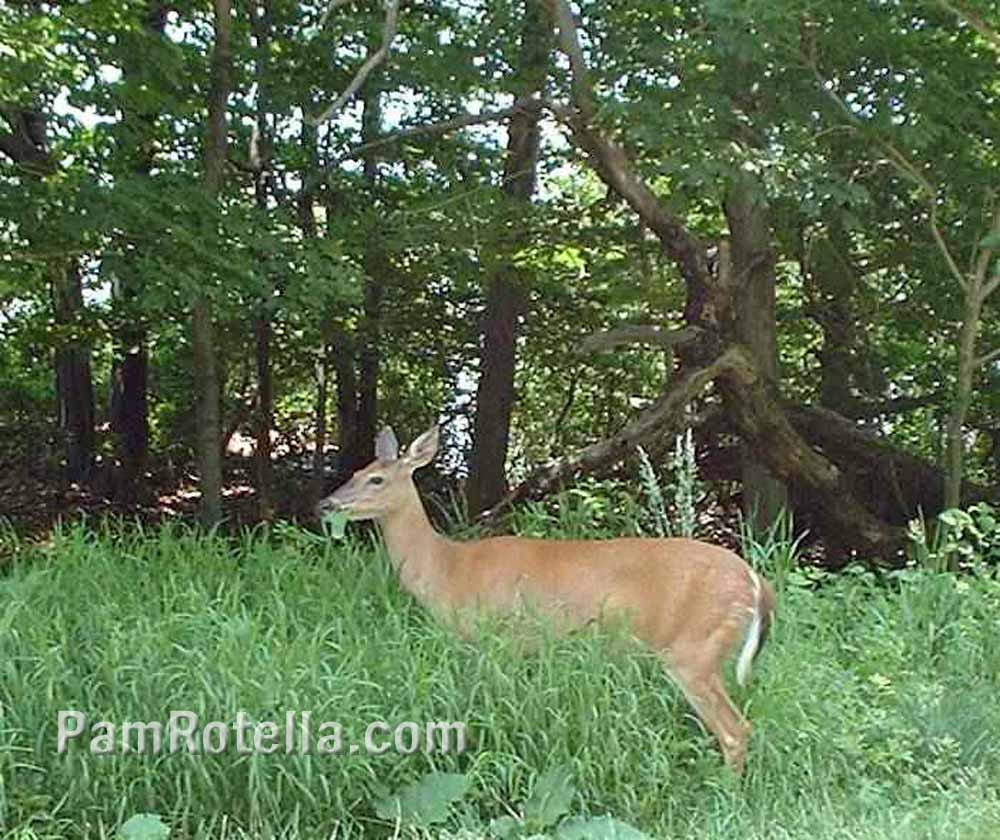 Deer grazing in Blue Ridge Mountains, Skyline Drive, photo by Pam Rotella