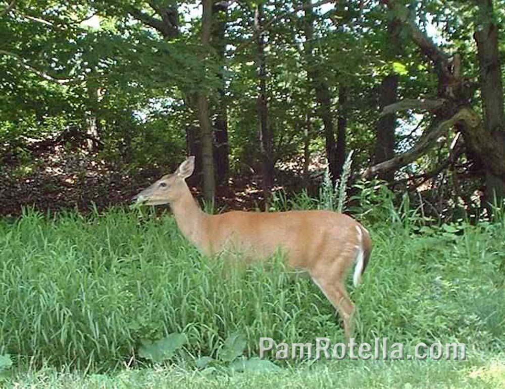 Deer grazes along Skyline Drive, Virginia, photo by Pam Rotella