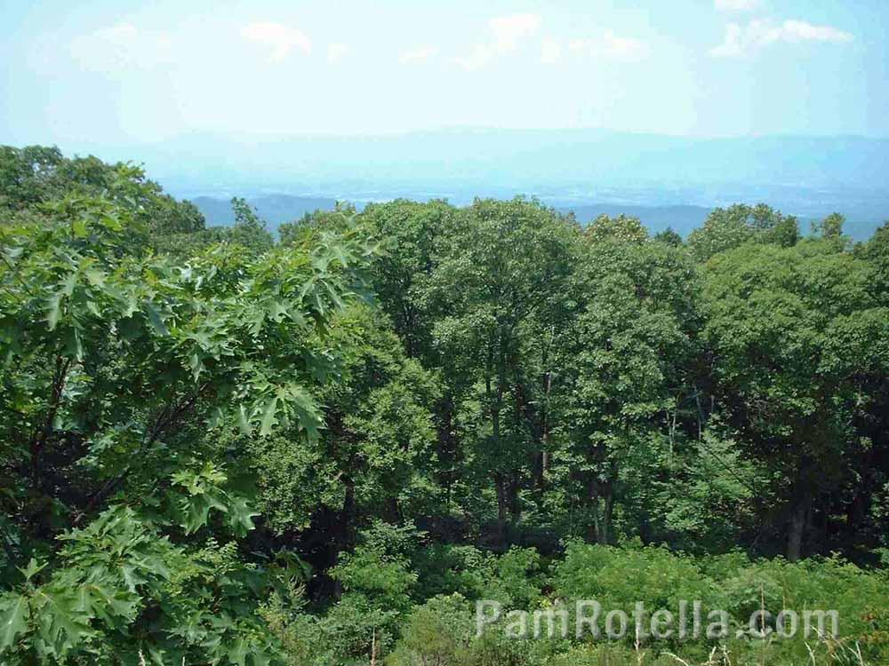 Scenic greenery along Skyline Drive, Virginia, photo by Pam Rotella